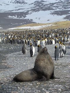 One seal and lots and lots of King penguins at Salisbury Plain.