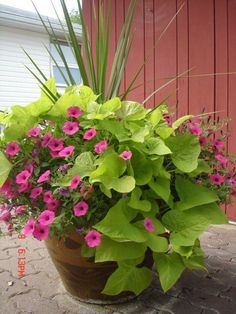 """""""I LOVE sweet potato vines and petunias. For several years now I have planted hanging baskets with sweet potato and wave petunias. The vine fills in when the flowers get a little """"leggy"""""""" Outdoor Plants, Outdoor Gardens, Potted Plants, Patio Plants, Plants Sunny, Backyard Planters, Fall Planters, Plant Pots, Hanging Plants"""