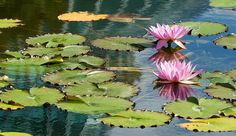 Lilies of the garden by Jason McIntosh, via Flickr | #flowers #lily #pink #green #yellow #blue
