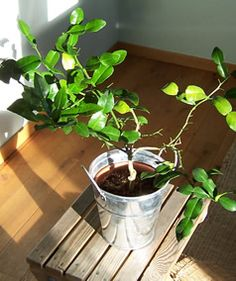 Kaffir Lime by the perfect gift for Explore more unique gifts in our curated marketplace. Balcony Garden, Herb Garden, Kaffir Lime Plant, Trees Online, Citrus Trees, Gifts For Cooks, Green Curry, Herbs, Gardening