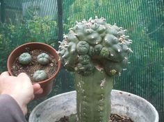 peyote grafted - Google Search