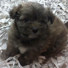 I want her so bad... (shes a sable colored yorkie pom.)