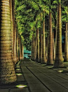 ✮ Singapore Fullerton Harbour walk has rows and rows of beautiful Palm tree pathways