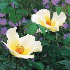 Golden Wings - David Austin Roses