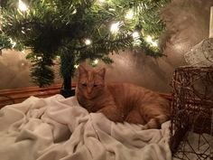 Merry Christmas from T-Boone Kitty