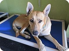 Redondo Beach, CA - Labrador Retriever/German Shepherd Dog Mix. Meet Ava..I am sweet and mellow, a dog for adoption. http://www.adoptapet.com/pet/10919631-redondo-beach-california-labrador-retriever-mix