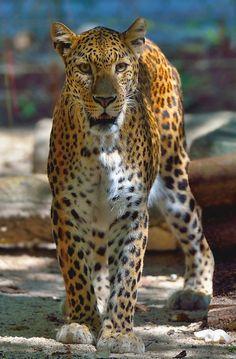 Leopard by Reuben St**