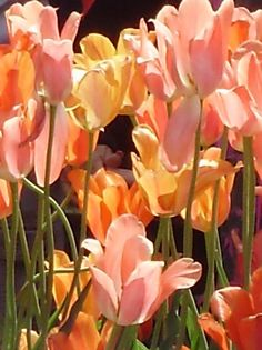 tulips are my favorite :)