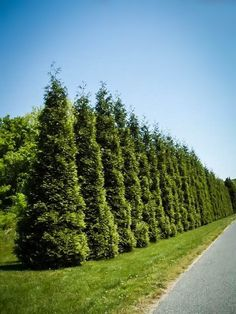Best Privacy Trees For Your Backyard. Featuring editorial, tips and little-known gardening secrets + lots of info in the comments section of the post - via The Tree Center Green Giant Arborvitae, Arborvitae Tree, Emerald Green Arborvitae, Cypress Trees, Evergreen Trees, Green Giant Tree, Buy Trees Online, Privacy Trees, Gardens
