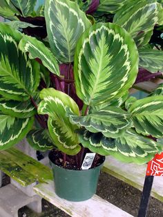 Prayer Plant Non Toxic To Cats (prefer Moderate To Low Light)