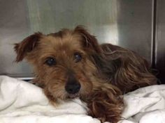 SUPER URGENT Brooklyn Center GEORGE – A1044231 MALE, BROWN, SILKY TERRIER MIX, 10 yrs STRAY – STRAY WAIT, NO HOLD Reason STRAY Intake condition EXAM REQ Intake Date 07/16/2015