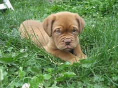 Dogue De Bordeaux - like a mash up of two of my favorite breeds:  Vizsla coloring and mastiff heft.