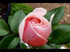 Samba della Rosa