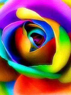 Rainbow coloured rose ♥