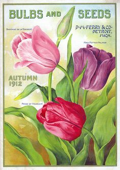 Ferry bulbs and seeds catalog, 1912, tulips