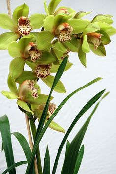 Blossom Garden, Blossom Flower, Flower Art, Home Flowers, Exotic Flowers, Beautiful Flowers, Orchids Garden, Orchid Plants, Orchid Flowers