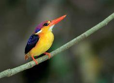 500px / Black Backed Kingfisher, Thailand by Prasit Chansareekorn