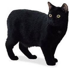 The Unexposed Secret of Black Cats Breeds  - For the longest time in history, black cats breeds have been considered as a harbinger of bad luck. However, these dark colored companions have not al... -  manx black cat .