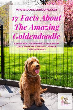 The Goldendoodle is a designer dog that is a cross between a Standard Poodle and a Golden Retriever. The result is a lovable, smart, agile, cute, fluffy family member that people all over the world have simply fallen in love with. Click here to read the article.