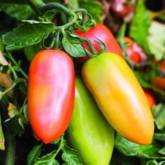 Growing heirloom San Marzano tomatoes from seeds for the first time after reading they are sought after by gourmet chefs for sauce making.