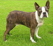 Boston Terrier - A.k.a. Boston Bull, Boston Bull Terrier, Boxwood, American Gentlemen - United States - Non-sporting breed