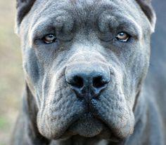 Blue Cane Corso, Cane Corso Breeder