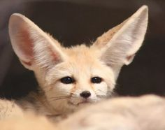 Fennec Fox Pet, Cute Wild Animals, Maine Coon Cats, Cat Names, Siamese Cats, Dog Care, Foxes, Spirit Animal, French Bulldog
