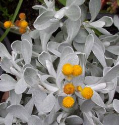 Native Australian Plants: Chrysocephalum apiculatum (grey leafed form) full sun to partial shade Australian Native Garden, Australian Native Flowers, Australian Plants, Silver Plant, Australian Wildflowers, Native Australians, Unusual Plants, Shade Plants, Shade Perennials