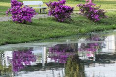 Projeto 365 Inspirações - FOTO 50  #365inspiracoes #reflection #reflexo #agua #water #azaleia