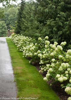 Line a driveway with Little Lime panicle hydrangeas - an incredible display for months and super low maintenance.