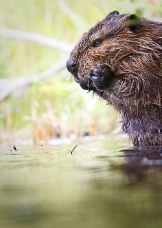 Beaver  -  one of these guys swings by every evening at The Last Resort Vacation Cabin on the Clark Fork River in northern Idaho. http://www.lastresortvacation.com