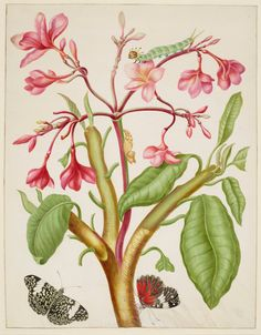 Maria Sibylla Merian (1647-1717) - Frangipani Plant with Red Cracker Butterfly