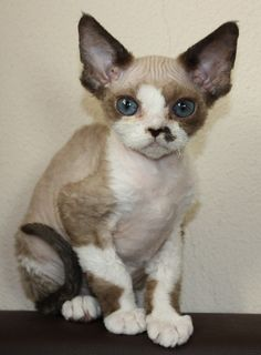 "Devon Rex kitten: called a ""monkey in a cat suit"" the most loyal, funny, smart, and incredible cat known to man. Literally acts like a dog!"