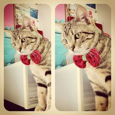 Ridiculously Cute Cat Wearing Equally Adorable Knit Watermelon Bow-Tie