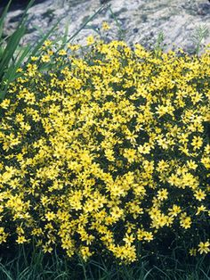 For a cottage garden: Coreopsis 'Moonbeam' Mature size: 20 inches tall, 24 inches wide. Ideal growing conditions: full sun to part shade, well-drained soil.