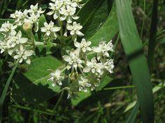 Asclepias ovalifolia Oval-leaf milkweed
