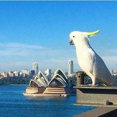 Amazing shot! #wanderlust#Sydney#Australia#amazing#love#instagood#instamood#like4like#follow4follow#SydneyHarbour#SydneyOperaHouse#Melbourne#Canberra#Adelaide#Perth#Brisbane#Darwin#Hobart#GoldCoast#sydneyharbourbridge#brids#morning#sky by nabeel.on.fire_49 http://ift.tt/1NRMbNv