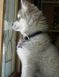 Alaskan Klee Kai Mini-Husky Sled dog