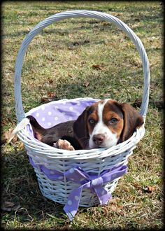 Beagle Easter Puppy