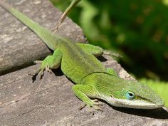 How to Create a Habitat for a Green Anole Lizard