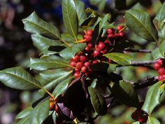 Ilex opaca (American holly) - native to the southeast U.S. The berries provide important nourishment for various bird species in winter (but are toxic to humans). Larval host for Henry's Elfin butterflies. Flowers provide pollen as a food source for honey bees.