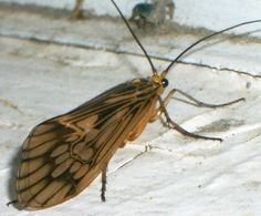 Caddisfly - What's That Bug?