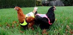 Get 1 possible reason while the chicken crossed the road in this math problem that's worth squawking about! Chicken Clothes, Math Problems, Animal Fashion, Fun Math, Bedtime, Guide, Matins, Daily Math, Gilets