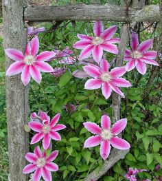 *Nelly Moser Clematis* These flowering vines will add unique dynamic beauty to any landscape! Unique Plants, Exotic Plants, Small Retaining Wall, Flowering Vines, Autumn Garden, Growing Plants, Clematis, Pretty Flowers, Backyard Landscaping