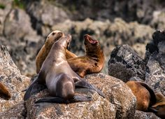 Wildlife Photo of the Day - April 27, 2016: A huge crop of sea lionson the rocks in Alaska serenaded us as we drifted past.