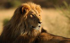 Mobile-Wild-Cats-Animals-Lions-Africa-Wallpaper.jpg (1920×1200)
