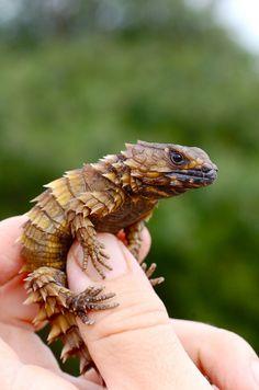 armadillo lizard