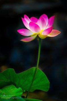 "500px / Photo ""Sacred Lotus II"" by Gregory Boratyn"