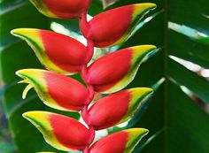 Heliconia creates beautiful color and pattern