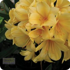 Clivia are great plants for shady areas. #http://www.searle.com.au #yellow #flower #garden #clivia #australia